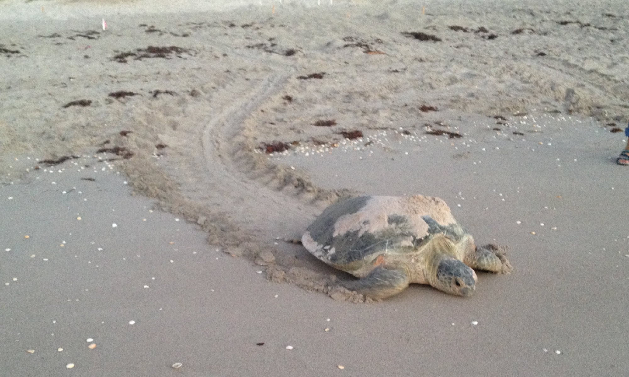 Mother turtle returns to ocean